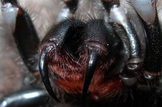 世界上最致命的蜘蛛,漏斗网蜘蛛(毒液杀死8人)