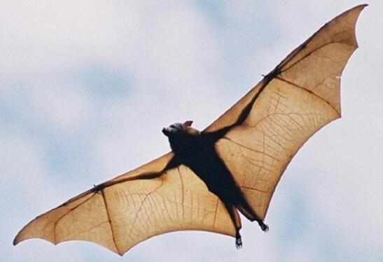 世界上最大的蝙蝠,马来大狐蝠不吃肉(183厘米宽)