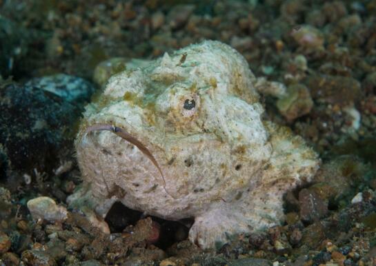 世界上最毒的魚,石頭魚善于偽裝(暗藏致命劇毒)