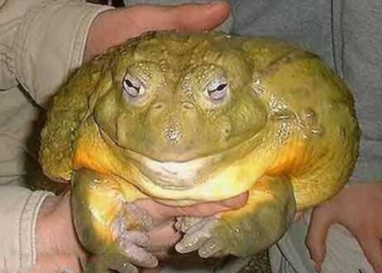 世界上最大的蛙类,喀麦隆巨蛙(被人类捕杀到濒临灭绝)