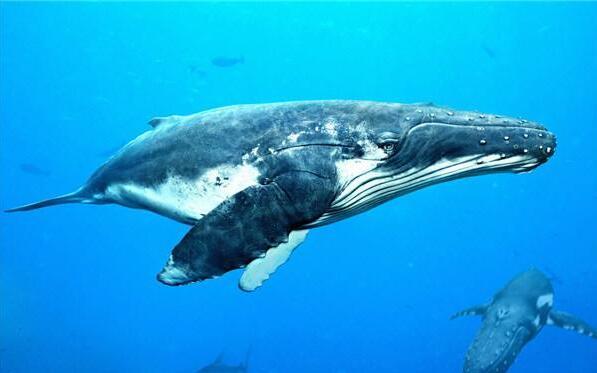 世界上最大的鲸鱼,蓝鲸(体长33米/睾丸重达90斤)