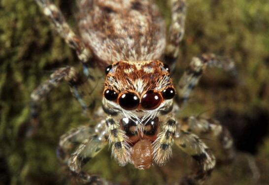 世界上最毒蜘蛛,巴西漫游蜘蛛(获吉尼斯纪录认证)