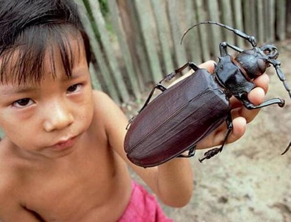 世界上最大的甲虫,泰坦甲虫长达4公分(一口能咬断铅笔)