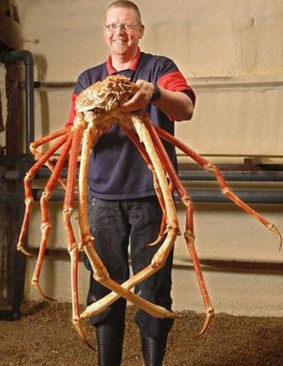 世界上最大的螃蟹,日本巨型杀人蟹蜘蛛蟹(长4.2米/重40斤)
