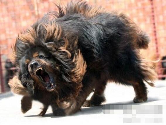 世界上最凶猛的狗排行,比特犬第一(打起架来不怕疼的存在)