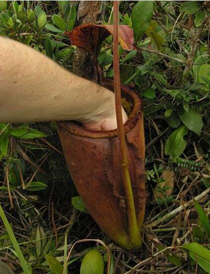 世界上最大的肉食性植物,巨型猪笼草(可吞噬老鼠)