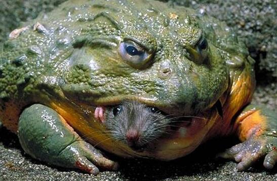世界上最大的青蛙,非洲巨蛙体长达1米(如今已快要灭绝)