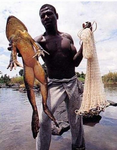 世界上最大的蟾蜍,巨型海蟾蜍(长0.54米/重达5斤)