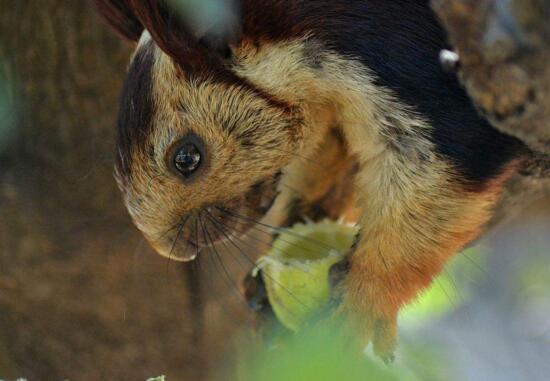 世界上最大的松鼠,巨松鼠能长到一米长重三千克