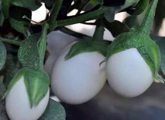 欧美会下鸡蛋的蛋树,果实可以食用味道鲜美