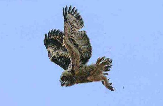 未知生物天使猫,长有翅膀还会飞(目击者称体型长3米)