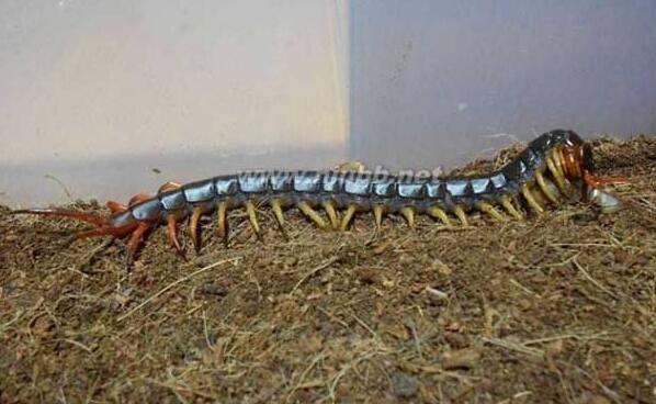 世界上最大的蜈蚣,加拉帕格斯巨人蜈蚣0.6米,能吃掉一条蛇(www.souid.com)