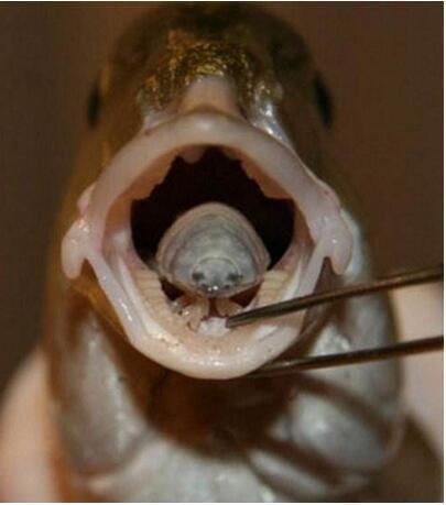外星寄生虫实乃贝蒂寄生虫,专吃鱼舌头(取而代之)