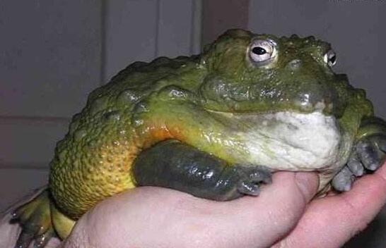 世界第二大蛙,非洲牛箱头蛙(长有锋利牙齿吃同类)