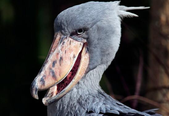 世界上头最大的鸟,鲸头鹳生吞鳄鱼不在话下