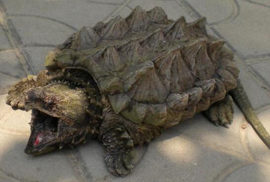 世界上最大的水龟,真鳄龟(鹰勾嘴咬断人类手指)