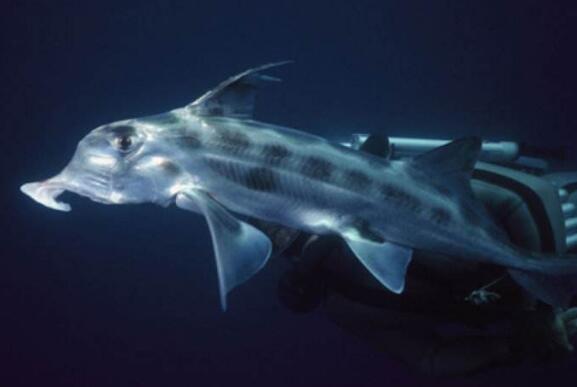 最奇葩的新物种幽灵鲨,丁丁既然长在鼻子上