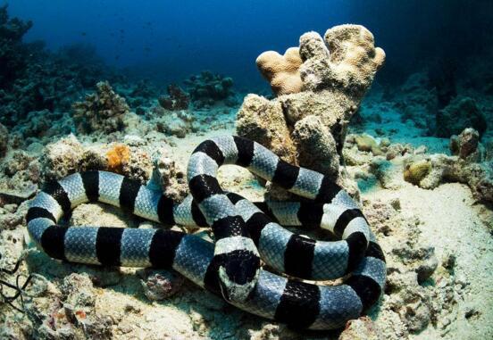 海蛇有毒吗,世界上最毒的海蛇图片大全