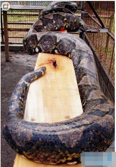 世界上最大的蛇長15米