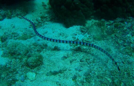 世界上最毒的蛇排名,海蛇/内陆太攀蛇并列第一(毒蛇之王)