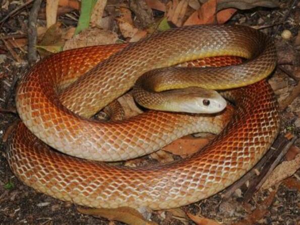 世界上最大的毒蛇,莽山烙铁头(长4米/重40斤破毒蛇纪录)