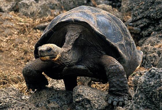 世界上最大的乌龟排名,加拉帕戈斯象龟重达700斤