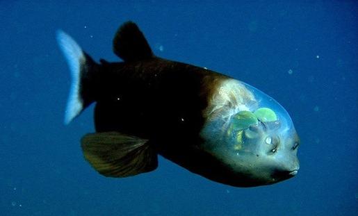 5. 太平洋桶眼鱼