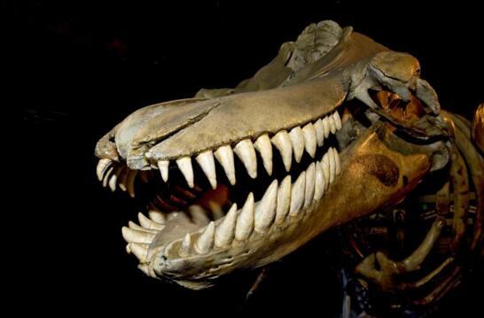 现代鲸的祖先,史前械齿鲸(体长18米/重达15吨)