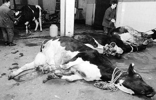 美国屠牛事件奇怪现象真相,核爆炸辐射神秘调查