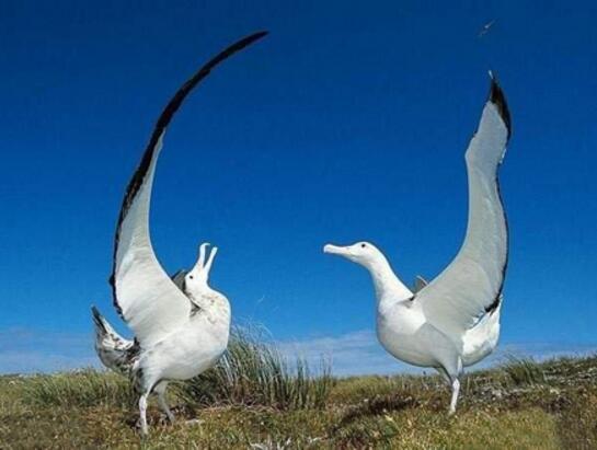 世界上最大的鳥,非洲鴕鳥高達2.74米(鳥類的世界之最)