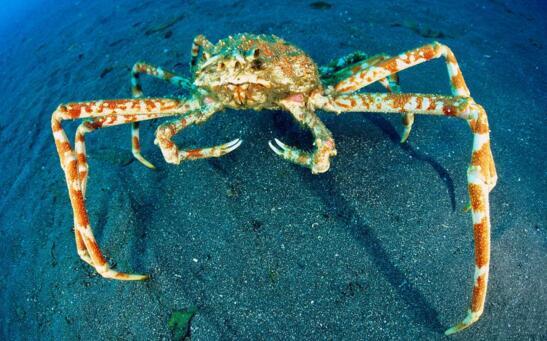 世界上最大的甲壳动物,日本蜘蛛蟹(蟹腿长达4米)