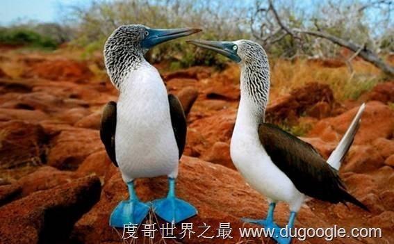 世界上最奇特的十种动物,蓝脚鲣鸟最具魔性(超级可爱)