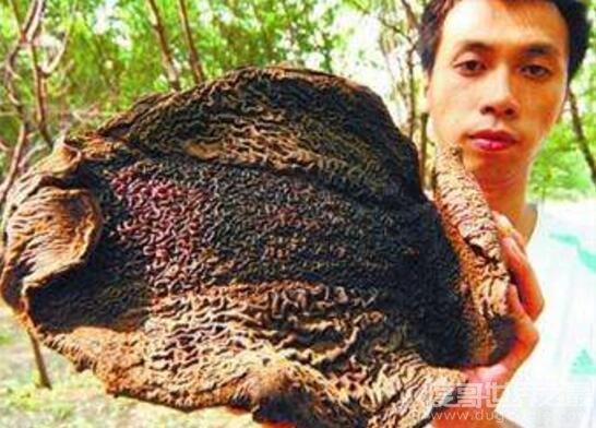 吸血毯怪物吸干动物鲜血,一旦缠上不死也要掉层皮