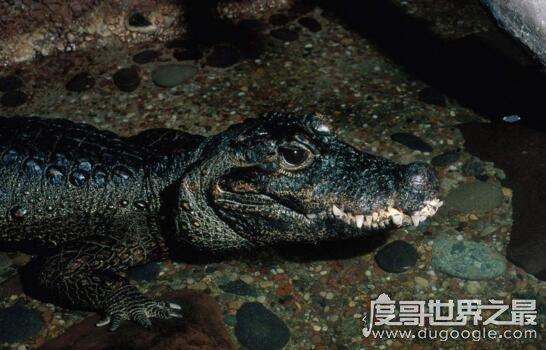 世界上体型最小的鳄鱼,非洲侏儒鳄(1米长可当宠物)