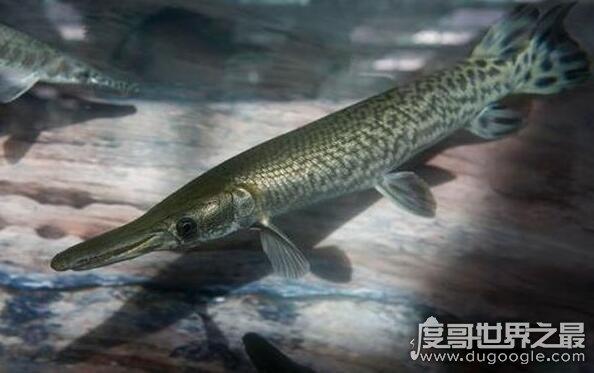 现存最凶猛的淡水远古生物,尖嘴鳄自带剧毒还吃人