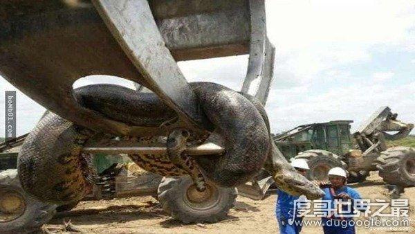 巴西水庫炸出10米長巨蟒