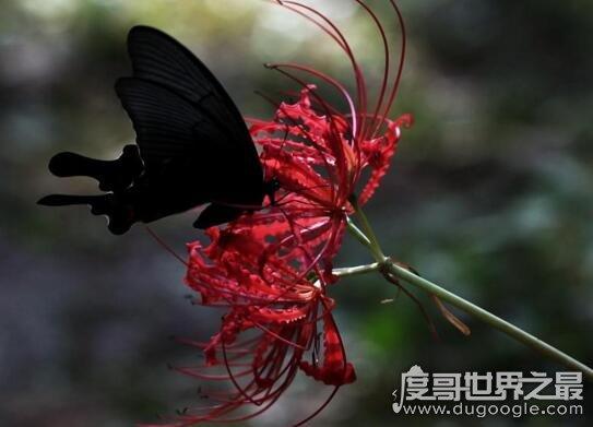 凄美彼岸花的传说,冥界唯一的花(永生永世不能相见)