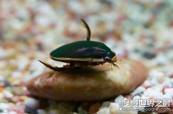 补肾的重口味美食水蟑螂,教你怎么做椒盐龙虱