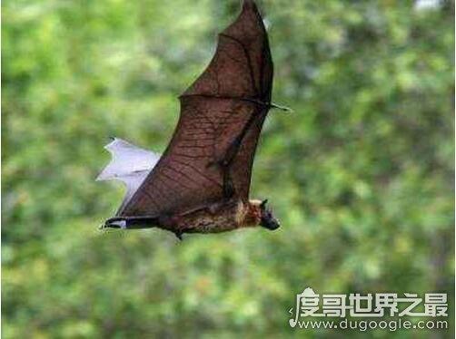 新橙的巨型蝙蝠,马来大狐蝠长达1.83米