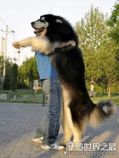 短毛阿拉斯加雪橇犬_巨型阿拉斯加犬图片,站起来比人还高(与人共舞)(2) — 度哥世界 ...
