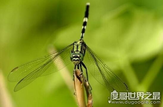 视力最好的昆虫,鬼蜻蜓有28000多只可测速的复眼(昆虫猎手)