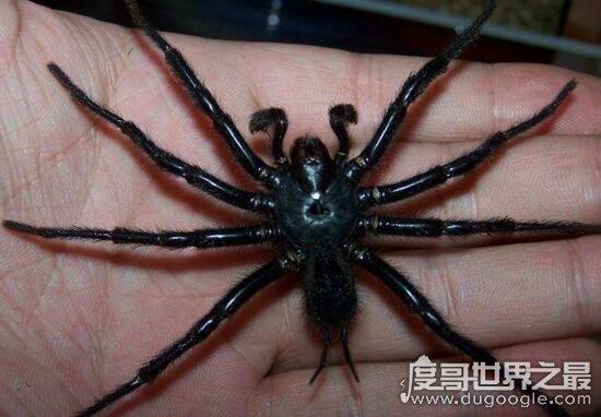 中国台湾最大的蜘蛛,上户蜘蛛浑身剧毒无解(长20cm)