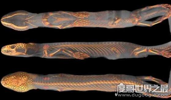 史前巨兽厚针龙,长着四只脚的蛇(现代蛇的祖先)