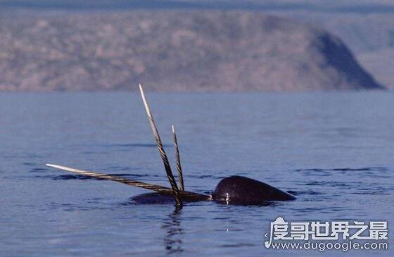 独角鲸的角居然是牙齿,揭秘独角鲸的长牙之谜