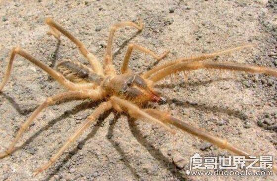 駱駝蜘蛛有10支腳,能穿透人體吸食汁液(不是蜘蛛)