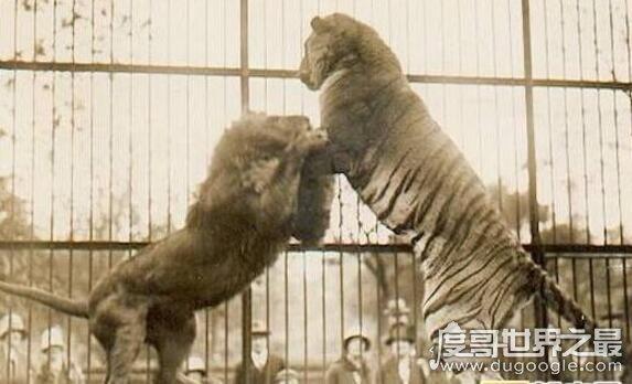 老虎和狮子谁厉害,在各方面老虎都完虐狮子(附视频)