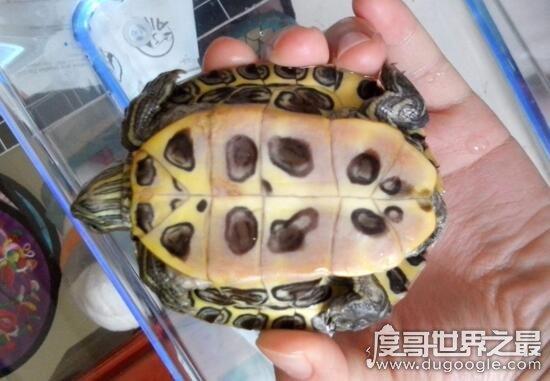 巴西龜壽命是多少年,只有10~35年太短命了