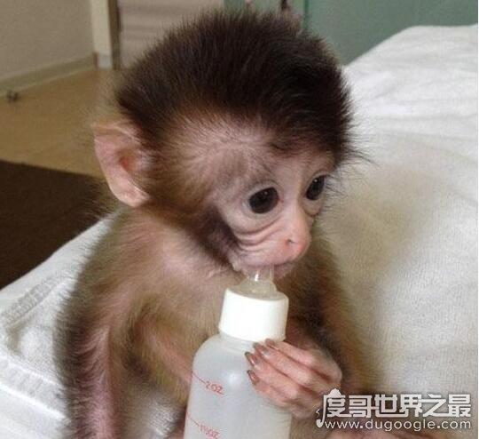 千萬別養日本袖珍石猴,很兇猛且攜帶致命病毒