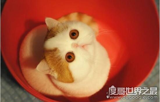 红小胖snoopy猫是什么品种,血统高贵的明星加菲猫