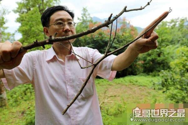 盘点世界上最大的昆虫,最大昆虫竹节虫长达0.62米(组图)